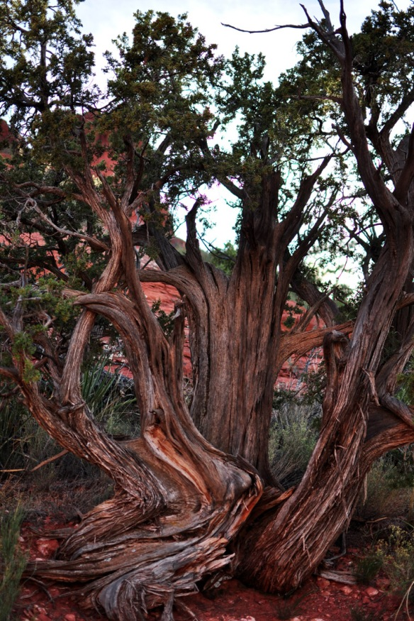 Twisted tree trunks - a sign of the powerful energy of the vortex