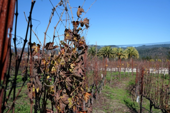 Vines and palms, at HALL Wines